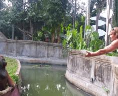orangutan plays pass zoo
