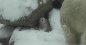 polar bear first time snow