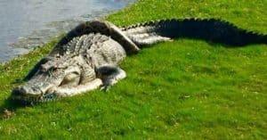 alligator python Florida fight