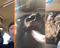 buffalo inside car