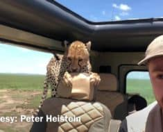 cheetah jumps vehicle safari