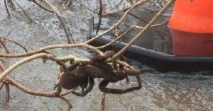 large Australia spider tarantula