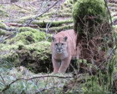 man stalked cougar