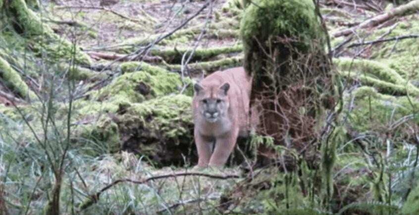 man stalked cougar
