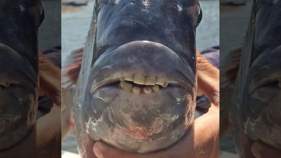 fish human teeth